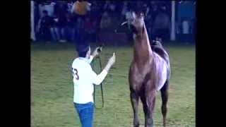 53 Salman  Class 8  Stallions 6th Late Sh Faisal National Arabian Horse Show Bahrain 2014