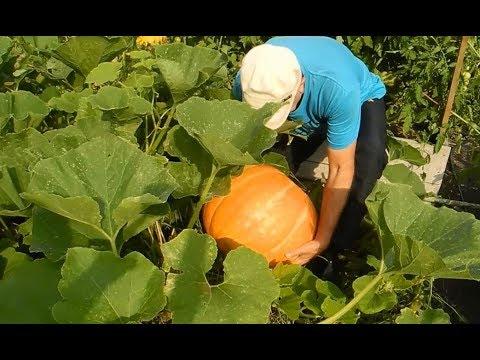 Как вырастить тыквы огромными