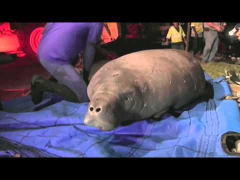 Raw Video: Manatees rescued from drain pipe in Florida