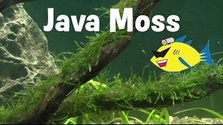 Java Moss Aquarium Plant Profile