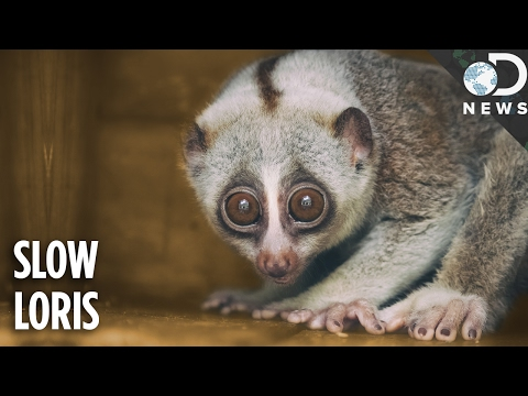 Everything You Need To Know About The Slow Loris