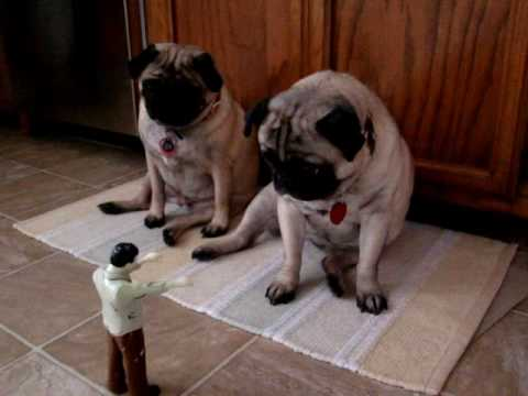 Pugs Attacked by a Zombie