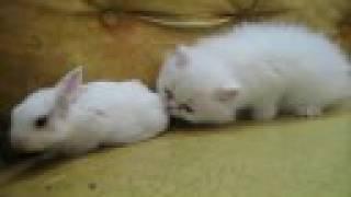 White kitten Vs White bunny ! (Very Funny video!)