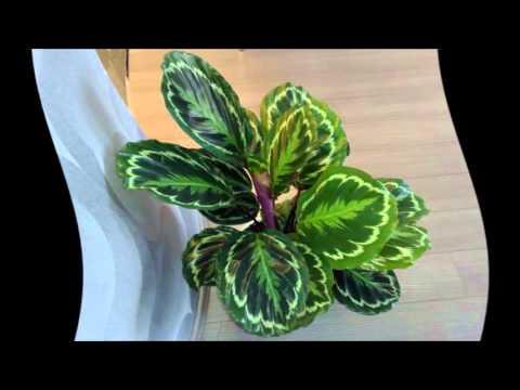 Домашние цветы уход в домашних условиях калатея 718