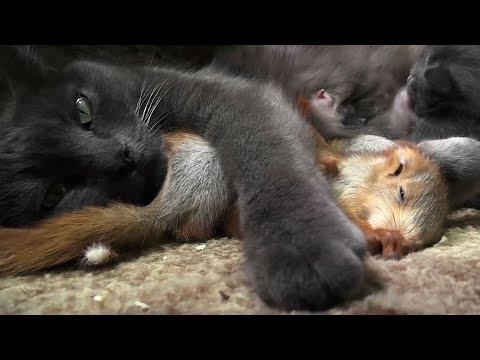 Nursing cat adopts orphaned baby squirrels