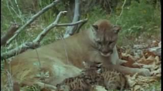 Lassie - Flight Of The Cougar (1967)
