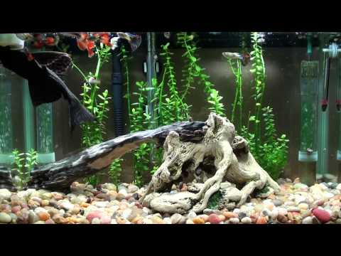 Pleco Crazy For Cucumber