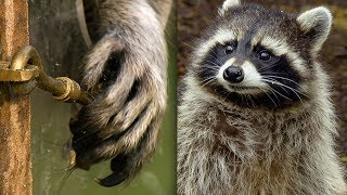 Racoon Demonstrates Problem Solving Skills | Earth Unplugged