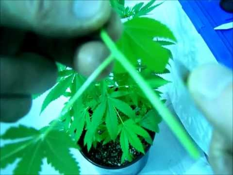DIY Cloning Marijuana Using Bubble Cloner Aerocloning Hydroponic EASY!!