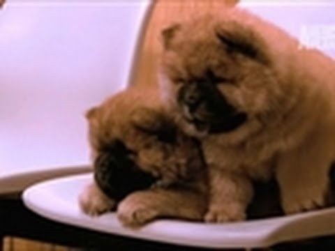 Chow Chow Checkup | Too Cute