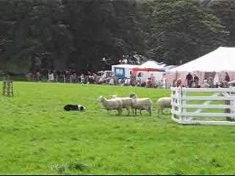 Sheep Dog Trials Hayfield Derbyshire Video