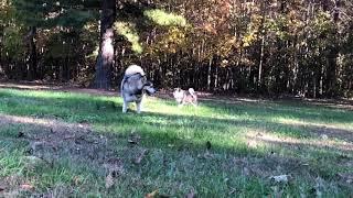 Giant Alaskan Malamutes - Alaskan Malamute Puppy Soicalizing