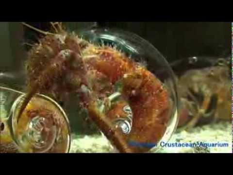 中身丸見え!透明ヤドカリ - Hermit crabs in glass shells -