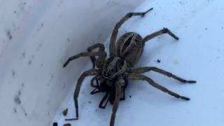 Wolf Spider Vs. Black Widow