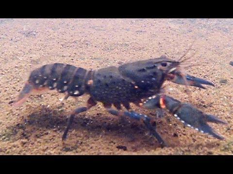 Sydney Giant Spiny Crayfish  Euastacus Spinifer