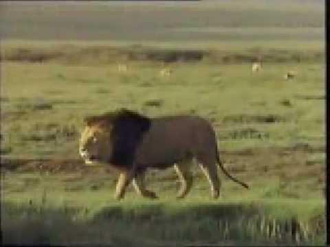 Lions Fight - Pelea De Leones