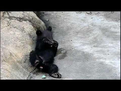上野動物園のニホンツキノワグマの赤ちゃん。Baby Japanese black bear.#05