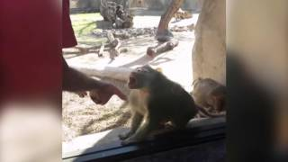 Baboon Is Amazed By Man
