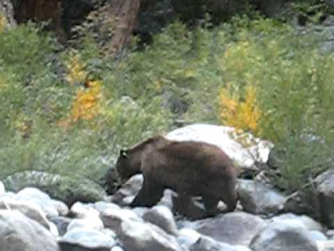 Yosemite National Park: Big-ass Black Bear Crosses Tuolomne River video