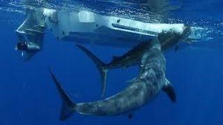 DIRECT - Un énorme requin avale un marlin
