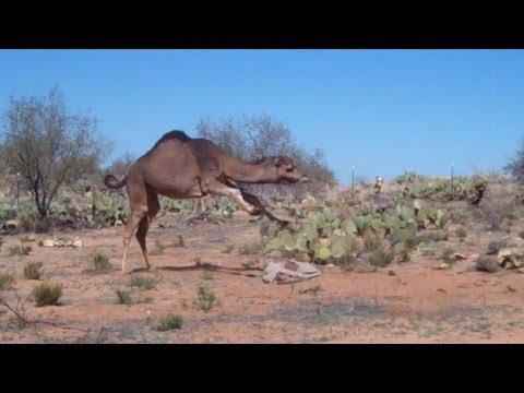 Camel bucks and rears