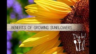 download lagu Benefits Of Growing Sunflowers - The Micro Gardener gratis