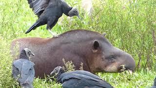 fauna brasileira sertaneja ANTA NA MASSAGEM animal selvagem pantanal amazônia cerrado brazilian
