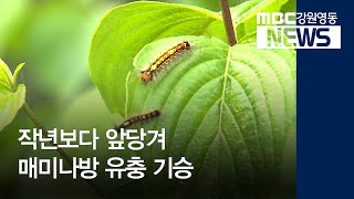 R)작년보다 앞당겨 매미나방 유충 기승