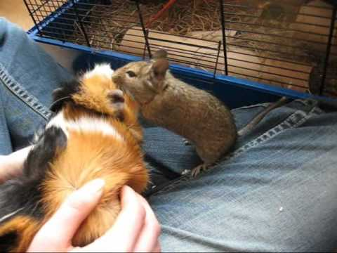 Degu and guinea pig become friends