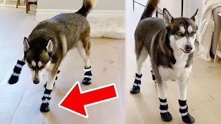 Husky tries wearing Shoes for First Time (Hilarious)
