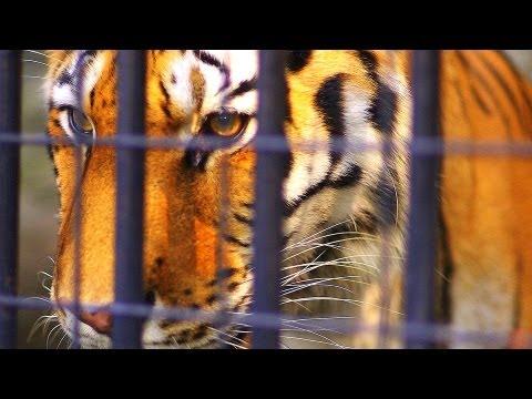 Big Tiger 巨大虎