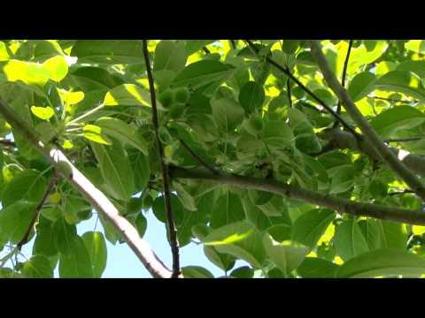 My Suburban Apple Orchard - Honeycrisp, Fireside & McIntosh Apples
