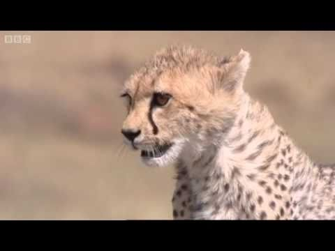 Cheetah hunts gazelle - Big Cat Diary - BBC
