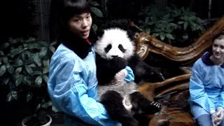cute baby panda in China