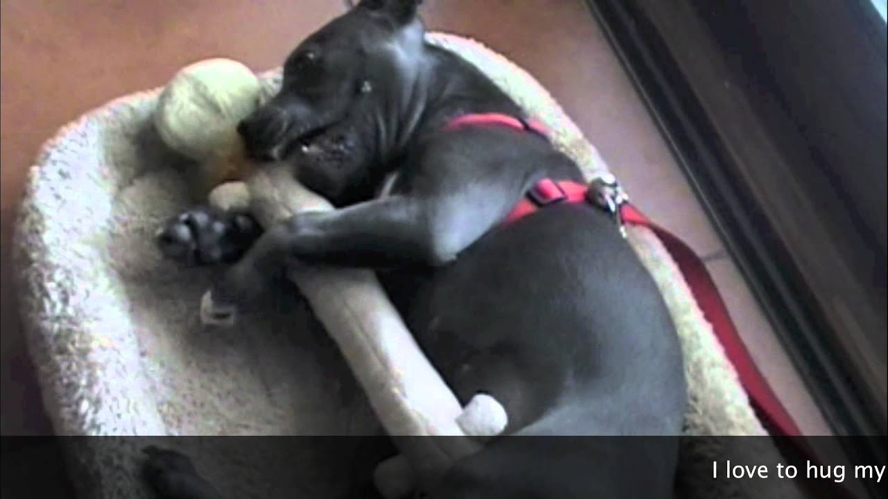 Puppies 101-Cuter Than Cute Puppy - Bella The Staffy Pup ...