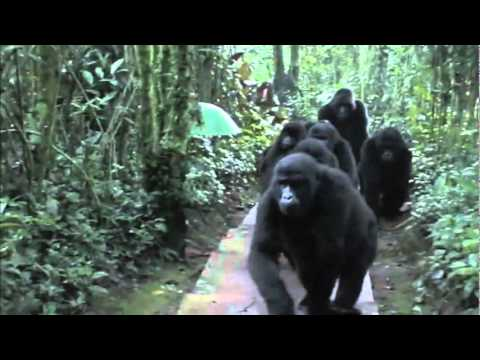 Touched by a Wild Mountain Gorilla in bwindi impenetrable forest www newuganda com