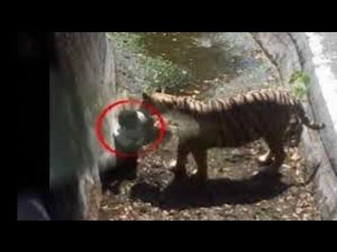 Petugas Kebun Binatang New Sealend Tewas Diserang Harimau Sumatera
