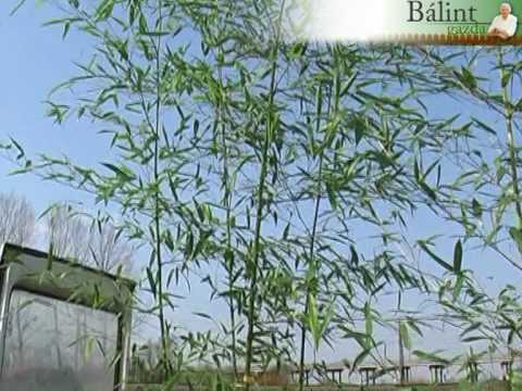 Bambusz a kertben
