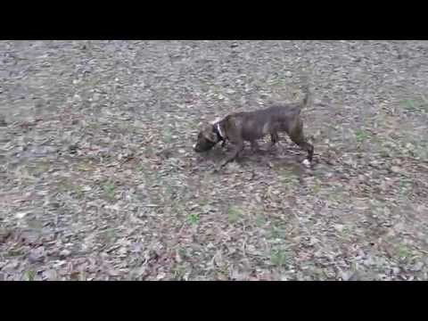 brindle tiger stripe pitbull Video