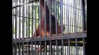 Orangutan Steals Tourists Shirt