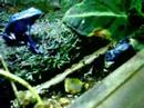 Dendrobates tinctorius &#8220;Azureus&#8221; feeding