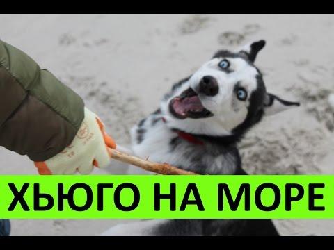 HUSKY - Гуляем с Хьюго на море Одесса