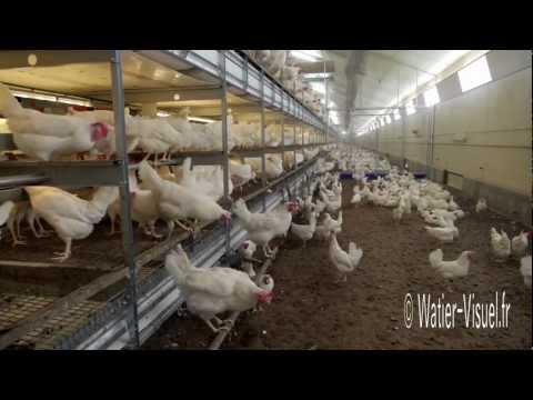 Poules Pondeuses en élevage dans un bâtiment plein air