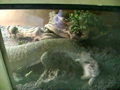 Big Pet Lizards 6 Foot Pet Lizard Eats Live