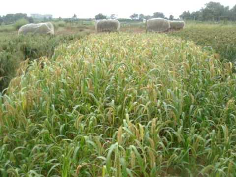 India -Forgotten foodgrain-Foxtail millet - navane