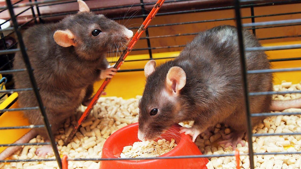 Декоративные крысы, описание, разновидности, уход, содержание 32