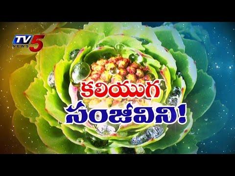 Kaliyuga Sanjivani | Divine Medicinal Plant @ Himalayas : TV5 News