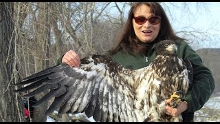 Bald Eagle Flying Free for the First Time