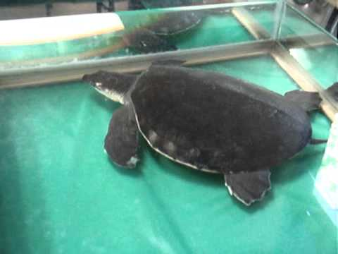 Marginated Tortoise Care Marginated Tortoise Amp Pig