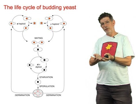 Andrew Murray (Harvard) Part 1: Yeast Sex: An Introduction